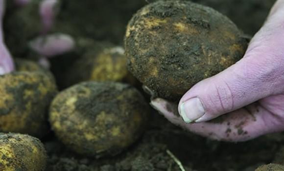 Good News for Potato Lovers Like Us!