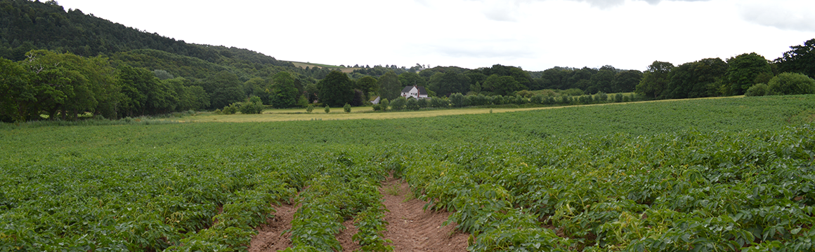 Potato crop fields at Teuthill Farm, home to Chesire Farm Chips